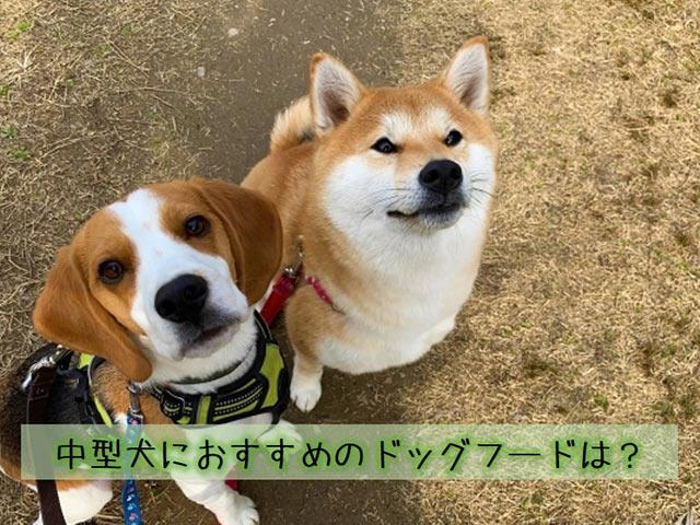 柴犬とビーグル